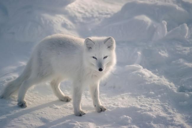 arctic-fox.jpg