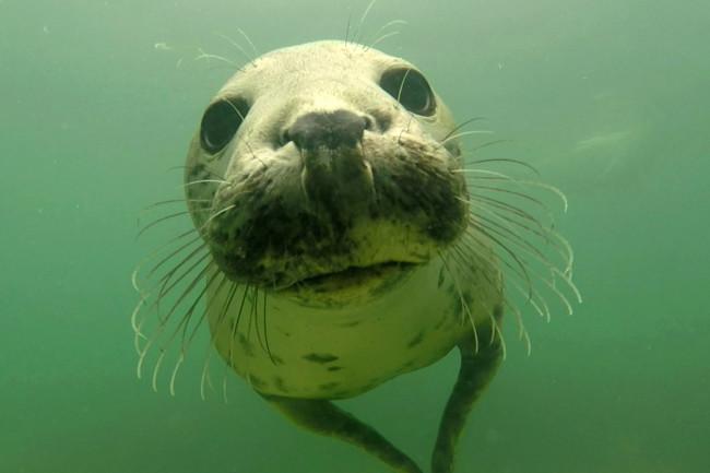 Wild Gray Seal - Ben Burville