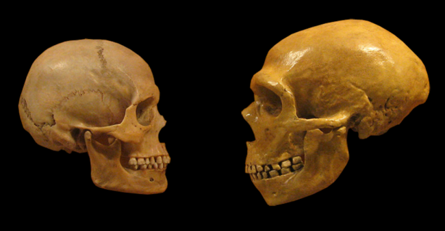 Sapiens Neanderthal Comparison - Wikimedia Commons