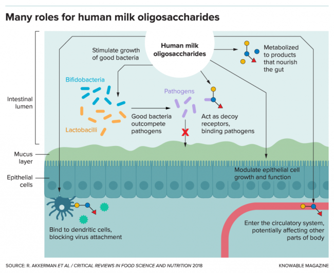G-human-milk-oligo-roles-alt-1024x836