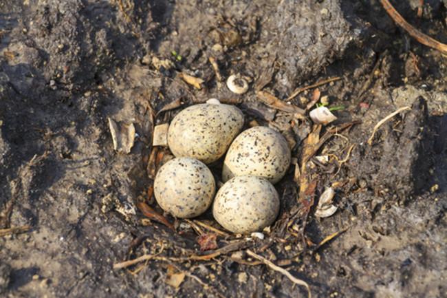 Sandpiper Eggs in Nest - Shutterstock