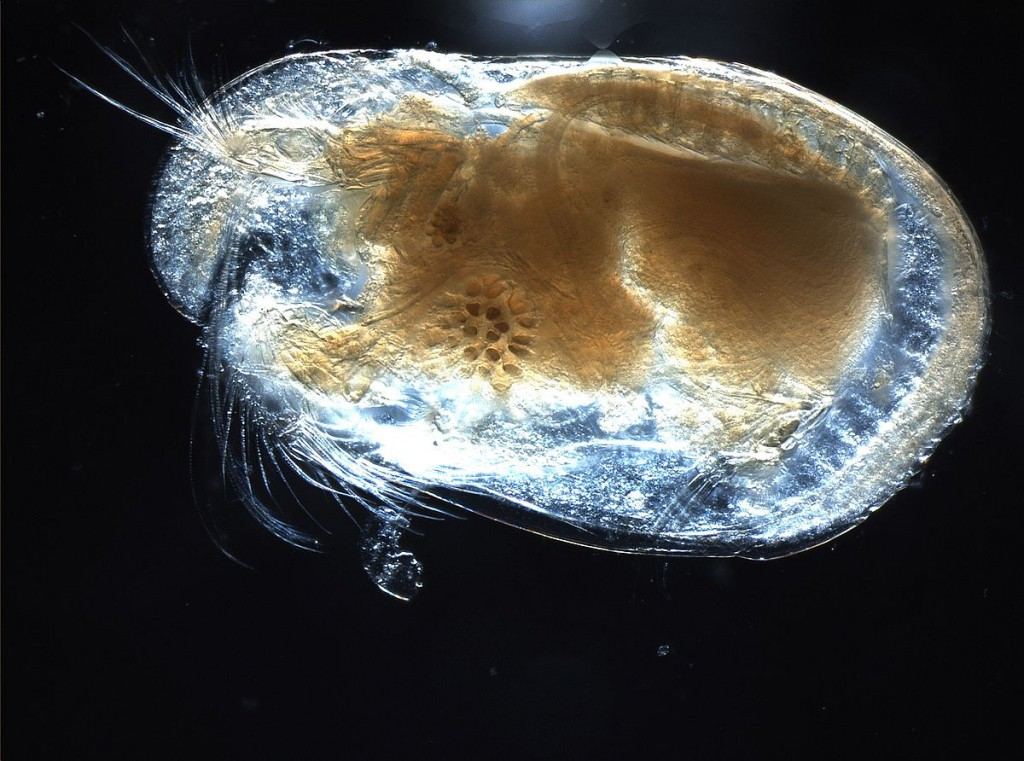 1200px-Ostracod