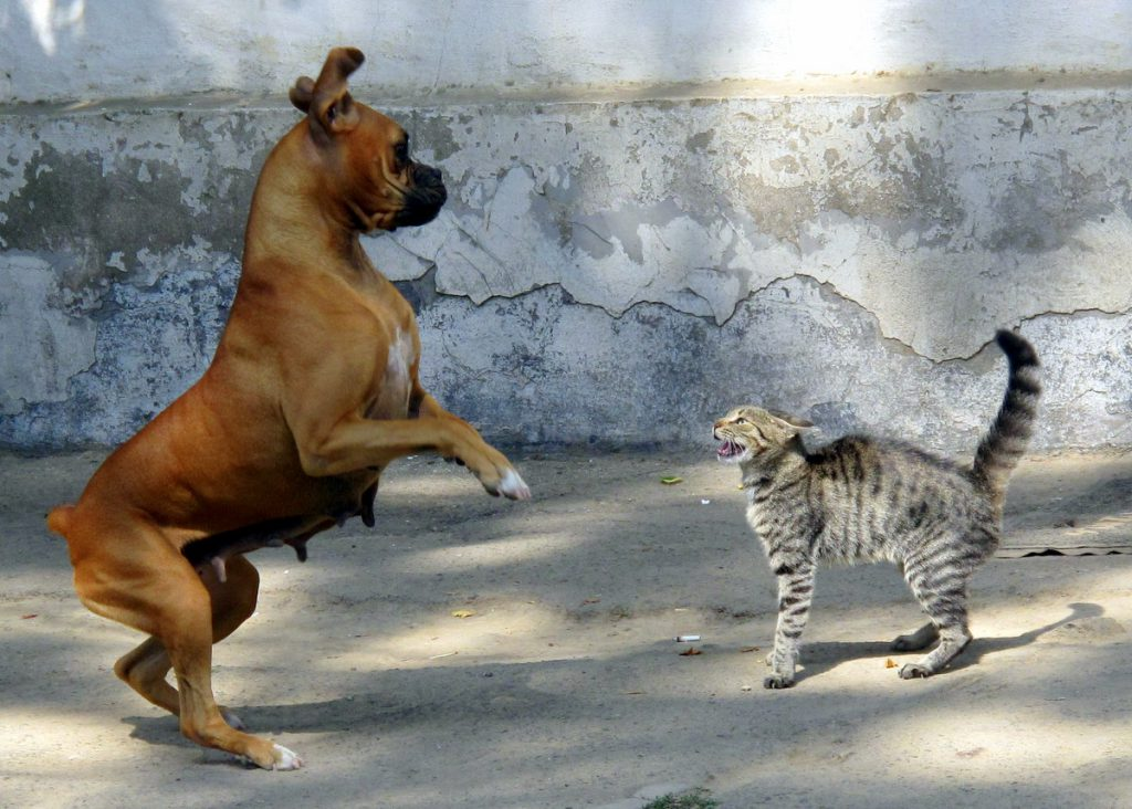 Cat and Dog - Wikimedia
