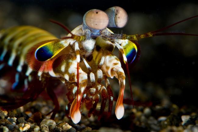 mantis-shrimp-1-1024x680.jpg