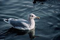 Glaucousbackedgull.jpg