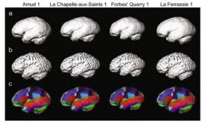 Neanderthal brains were digitally reconstructed, showing specific regions, based on CT scans of skulls (credit: Kochiyama et al 2018 Scientific Reports)