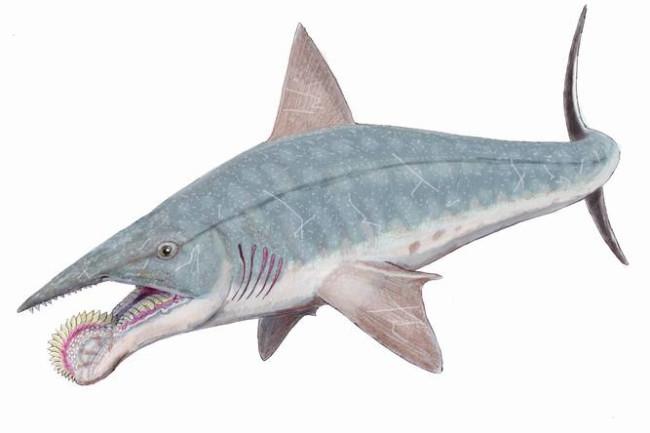 Spiral-Lipped Shark