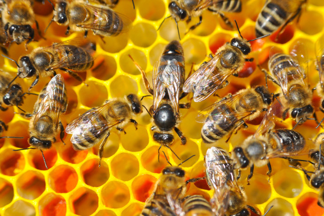 honey bees honeycomb