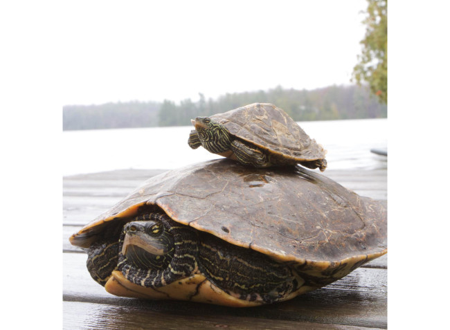 Male-Female-Turtle