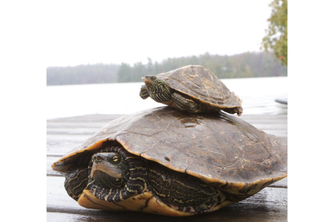 Male-Female-Turtle