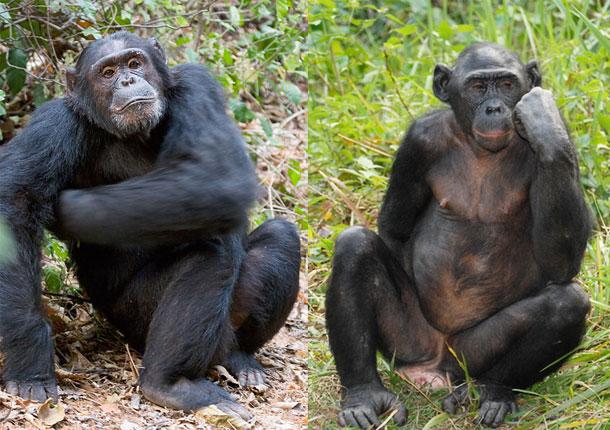 Bonobo_chimp.jpg