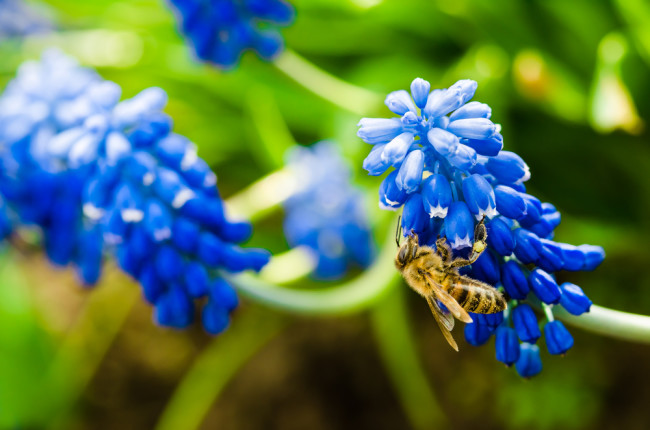 Bee on Blue Flower - Shutterstock