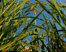 rice-plants.jpg