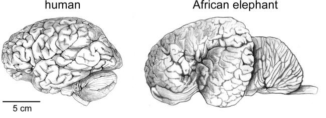 Human Elephant Brain - Frontiers in Human Neuroscience