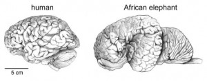 Intelligence is influenced by other factors than absolute brain size. Otherwise elephants would out-smart humans (credit: Herculano-Houzel 2009 Frontiers in Human Neuroscience).