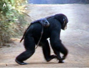 A chimpanzee named Jire carried the mummified remains of her dead infant for 68 days after its death in Bossou, Guinea.