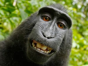 monkey selfie Slater Wikimedia commons-300x225