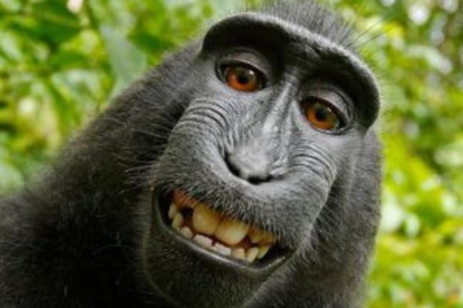 monkey selfie Slater Wikimedia commons-300x225