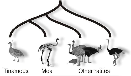ratite-tree.jpg