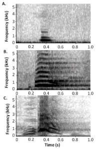The acoustics of chimpanzee alarm calls are less distinct. From top: soft huu, alarm huu, and waa bark (credit: