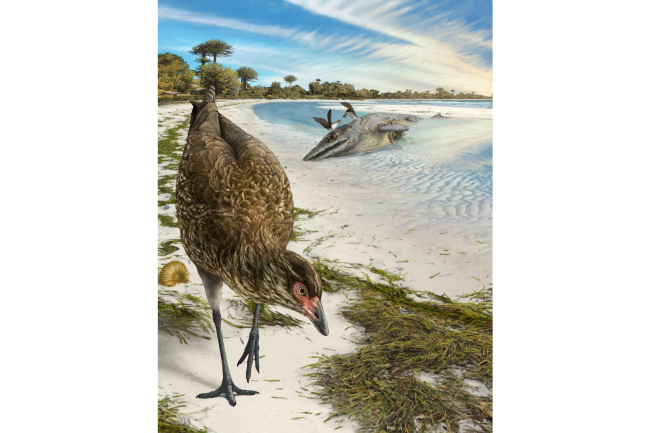 Oldest Bird Asteriornis Art - Phillip Krzeminski
