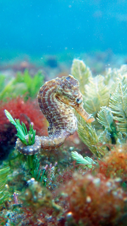 seahorses clutch tail