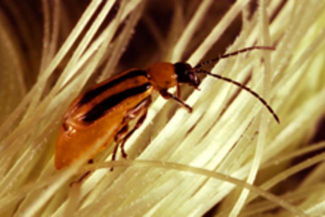 rootworm-beetle.jpg