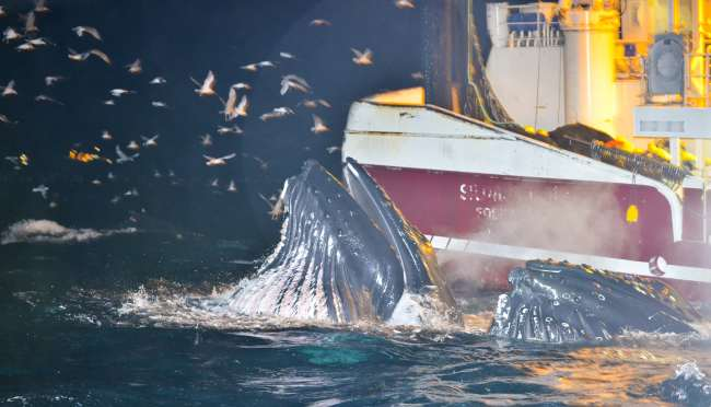 Humpback Whales Feeding Next to Fishing Boat