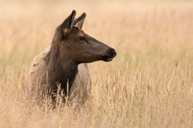 cow-elk.jpg