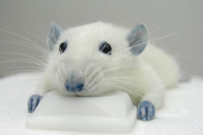 blue-rat.jpg