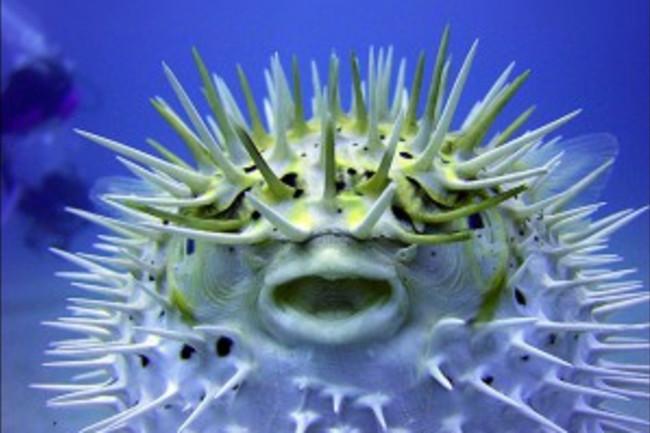 The_Puffer_Fish-300x240.jpg