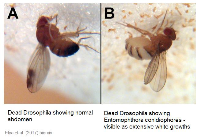 drosophila-elya.png