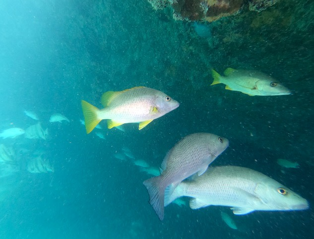 Various snapper species swimming near a coral reef in the Caribbean - Photo by Rob Roberts