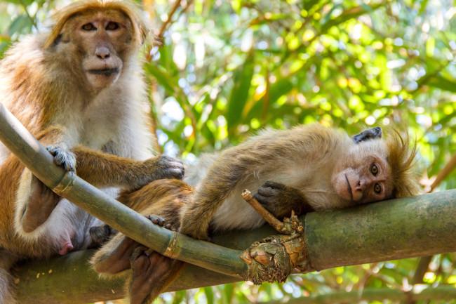 Toque-Macaques.jpg