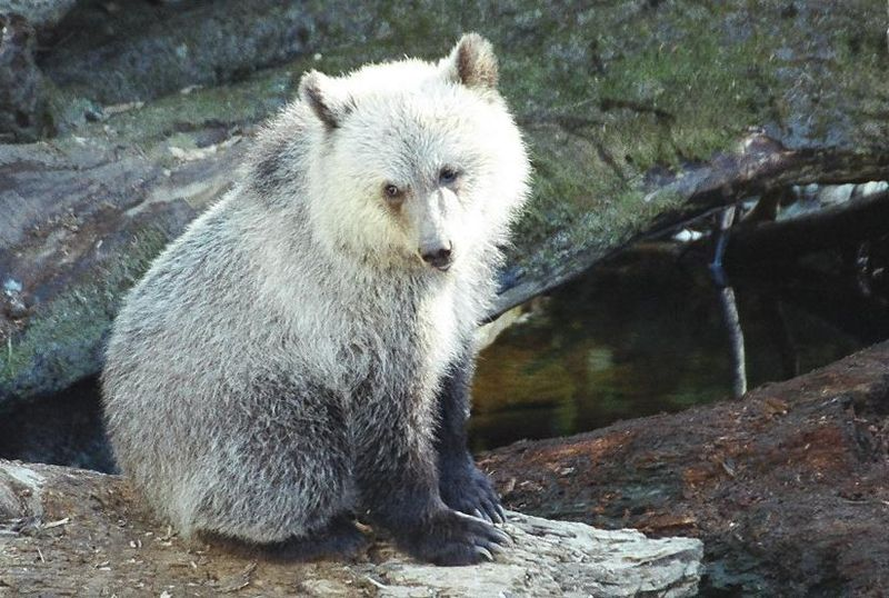 800px-Grizzly-cub.jpg