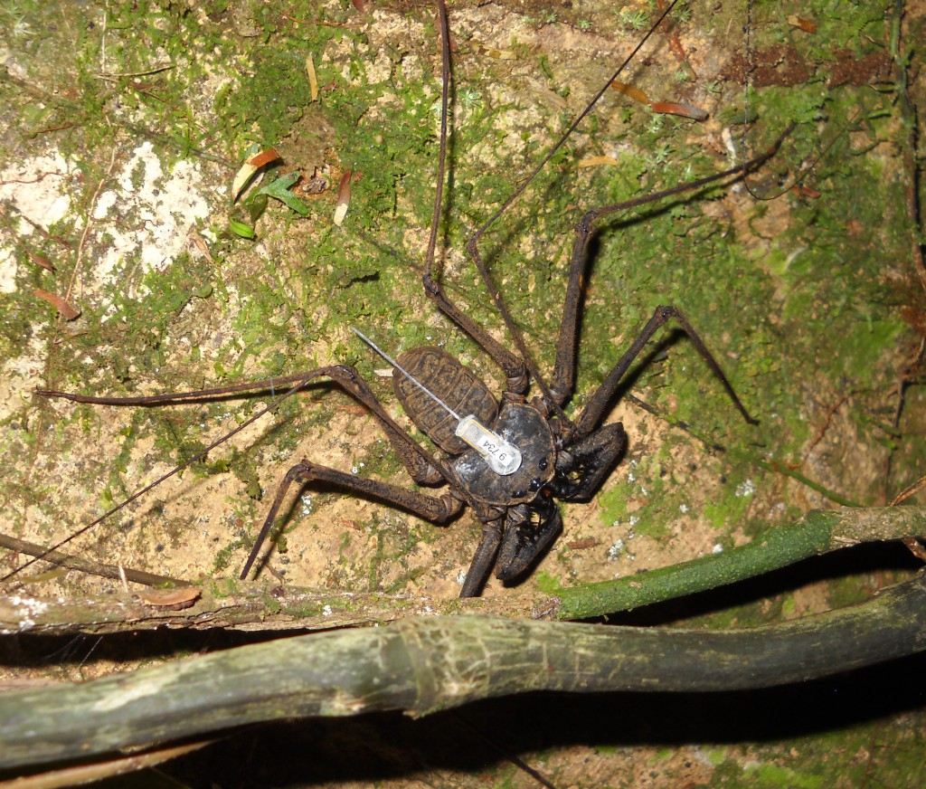 6-Whip-spider-re-located-at-night-with-transmitter-1-1024x872.jpg