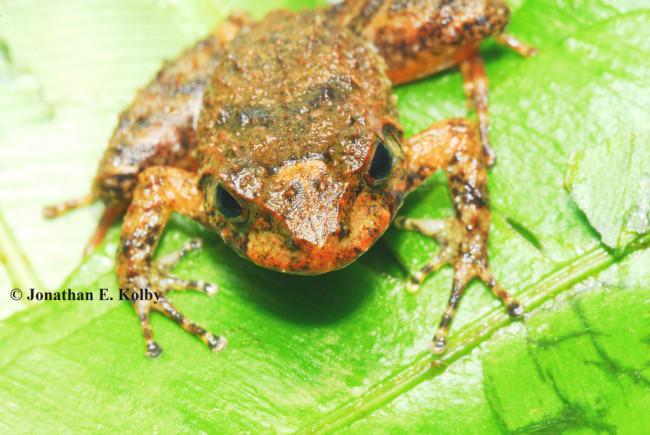 Miles' Robber Frog - Jonathan Kolby