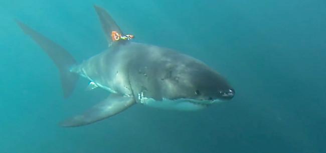 MBARI shark-mounted camera
