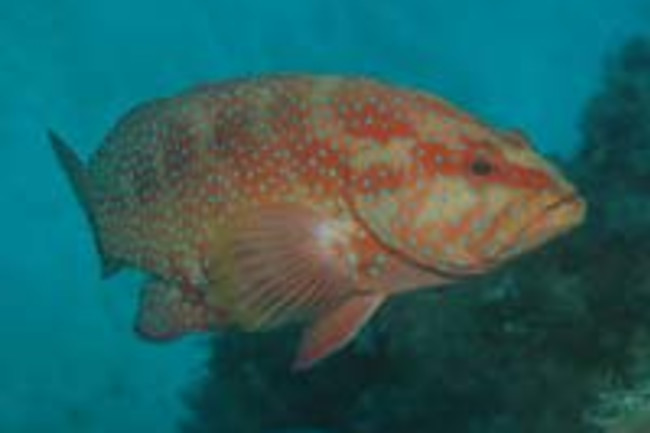 Coral-trout.jpg