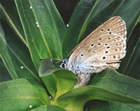 Mountainalconbluebutterfly.jpg