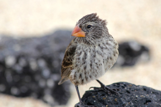 Darwins-Finch