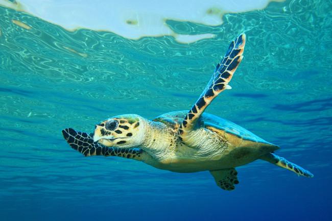 Hawksbill Sea Turtle - Rich Carey, Shutterstock