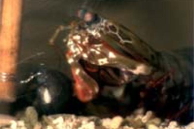 Mantisshrim.jpg
