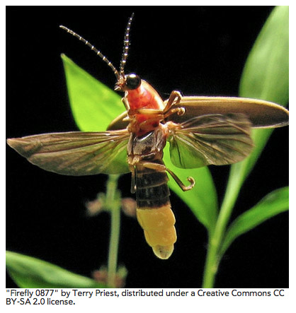 Photinus-pyralis-a-species-of-firefly-found-in-the-eastern-United-States.jpg