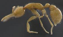 eyeless-ant.jpg