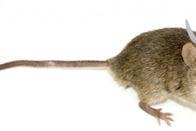 viking-mouse-610x270.jpg