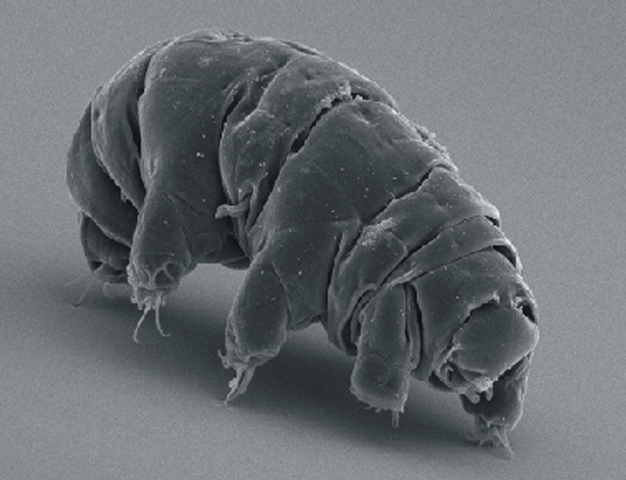 626px-SEM_image_of_Milnesium_tardigradum_in_active_state_-_journal.pone_.0045682.g001-2.png