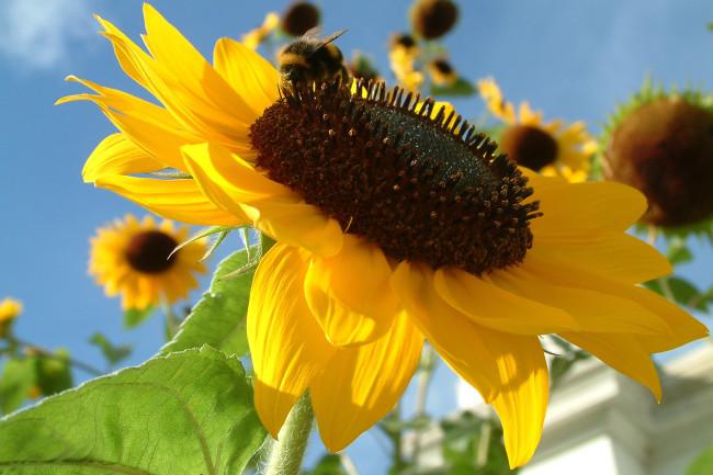 sunflower - shutterstock