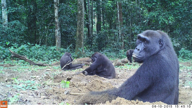 group of gorillas credit Germán Illera SPAC Scientific Field Station Network, Ggmb