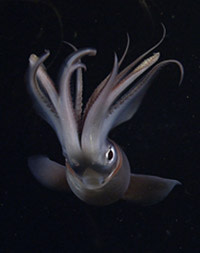 Humboldtsquid.jpg